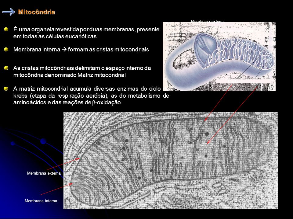 Mitocôndria Membrana externa. É uma organela revestida por duas membranas, presente em todas as células eucarióticas.