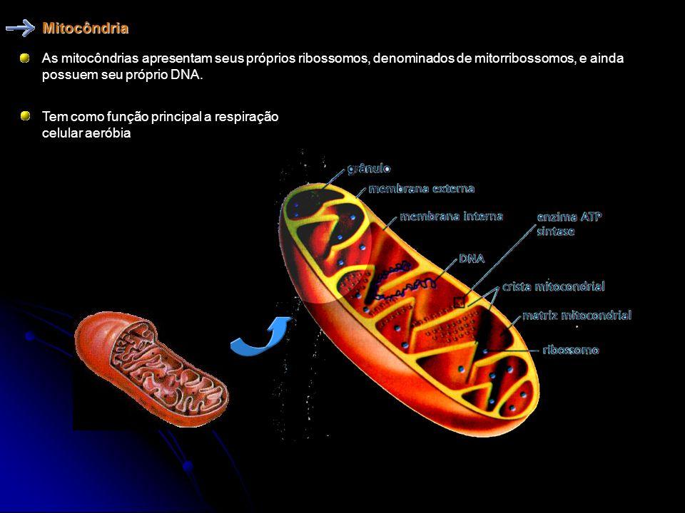 Mitocôndria As mitocôndrias apresentam seus próprios ribossomos, denominados de mitorribossomos, e ainda possuem seu próprio DNA.