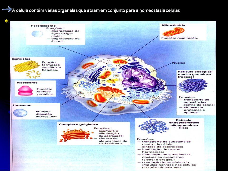A célula contém várias organelas que atuam em conjunto para a homeostasia celular.