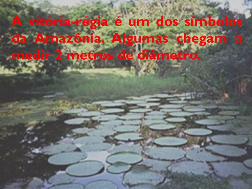 A vitória-régia é um dos símbolos da Amazônia