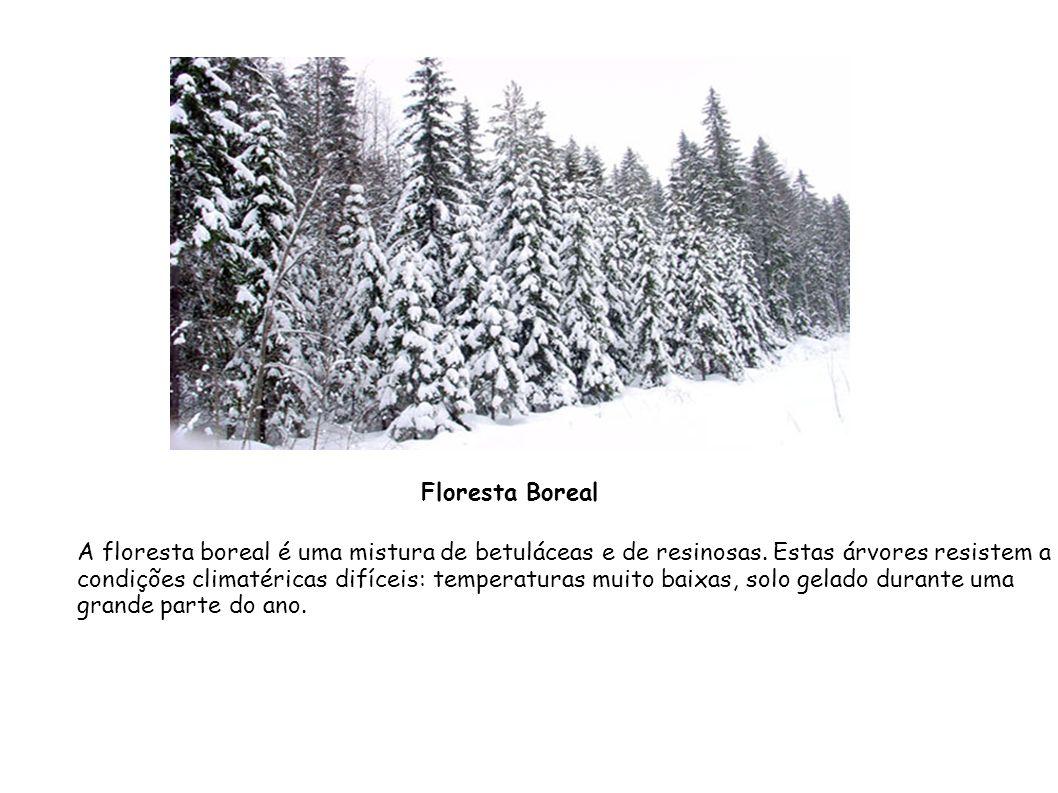 Floresta Boreal A floresta boreal é uma mistura de betuláceas e de resinosas. Estas árvores resistem a.