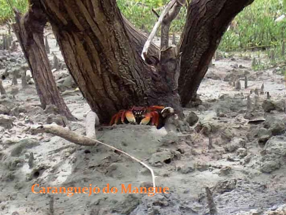 Caranguejo do Mangue