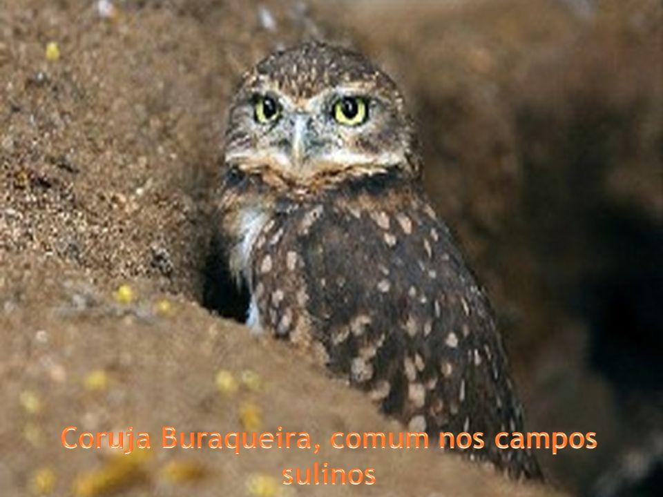Coruja Buraqueira, comum nos campos sulinos