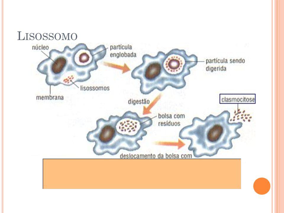 Lisossomo 25