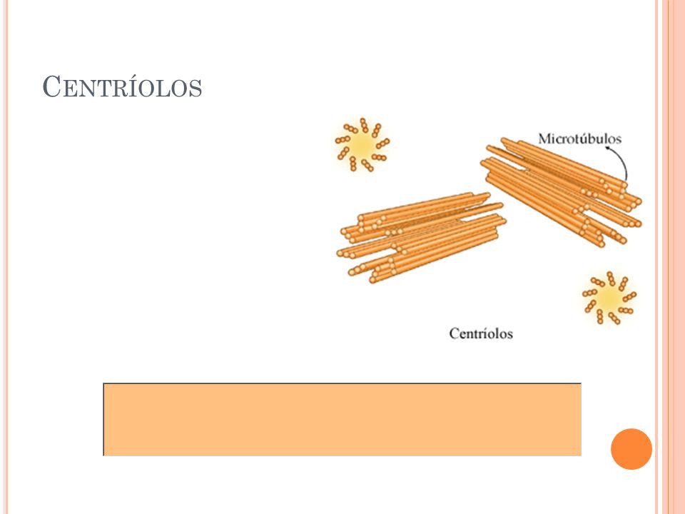 Centríolos 26