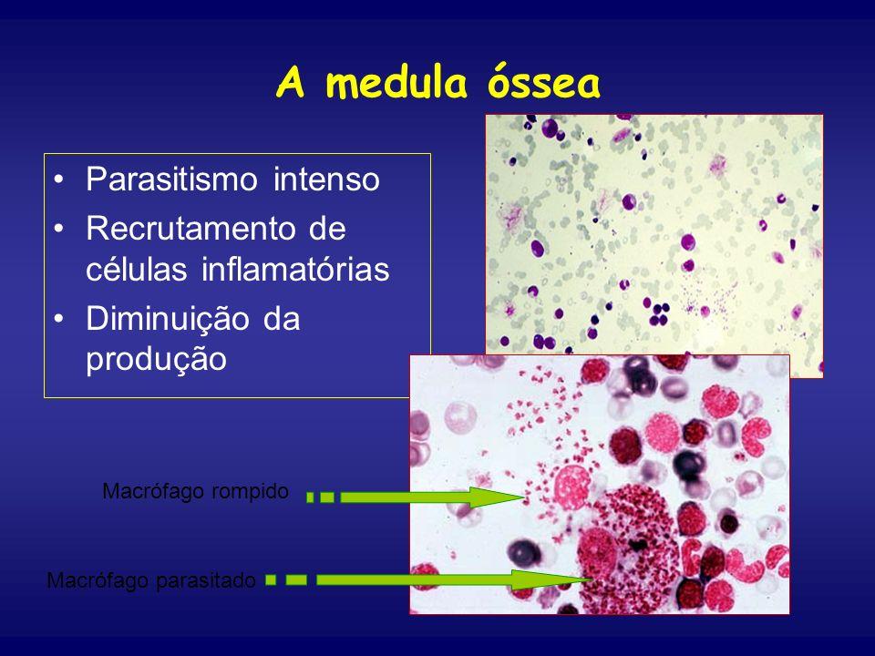 A medula óssea Parasitismo intenso