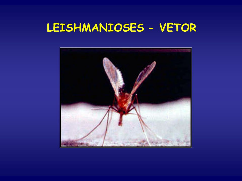 LEISHMANIOSES - VETOR