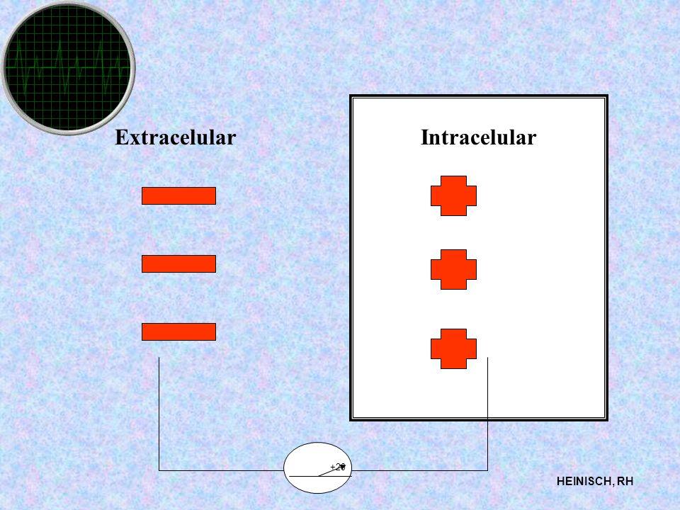 Extracelular Intracelular +20 HEINISCH, RH