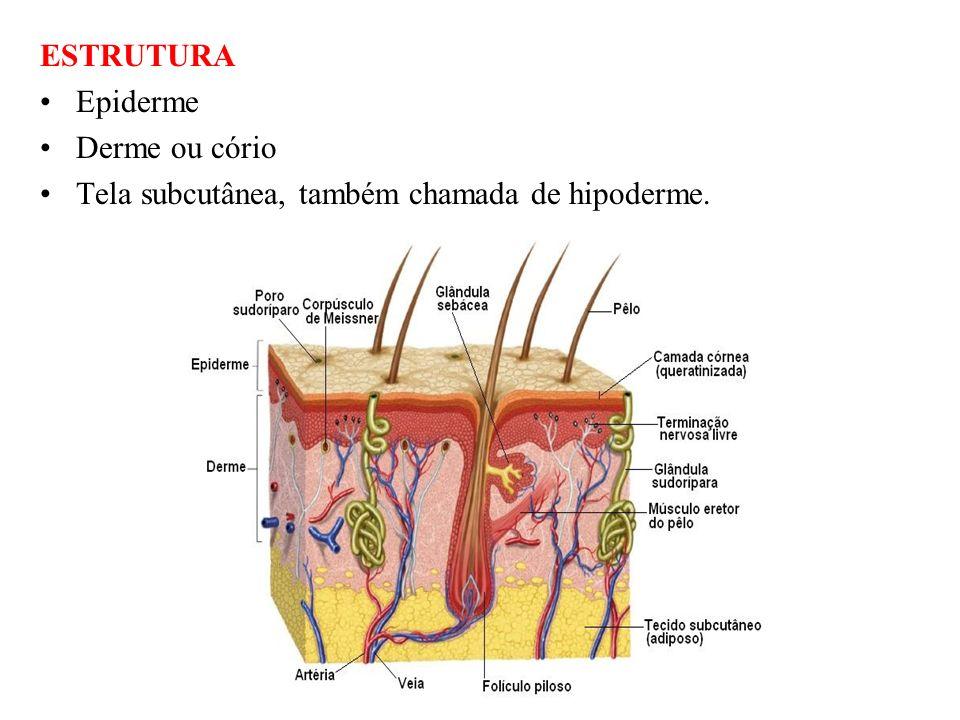 ESTRUTURA Epiderme Derme ou cório Tela subcutânea, também chamada de hipoderme.