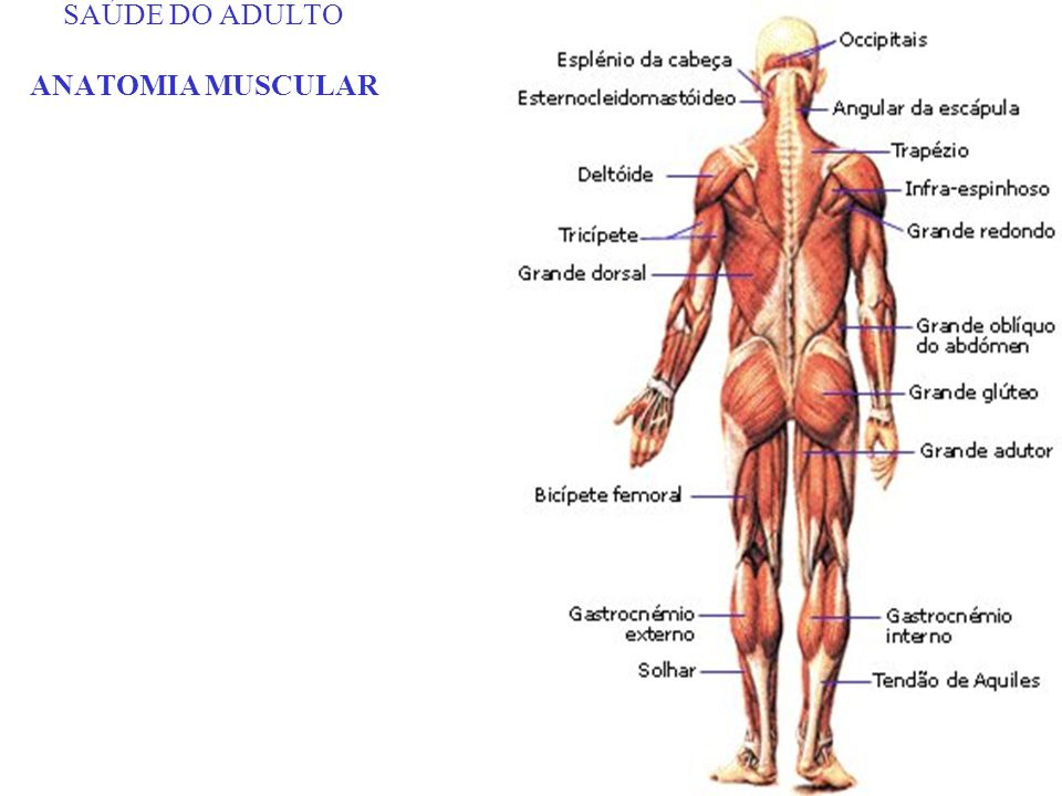 SAÚDE DO ADULTO ANATOMIA MUSCULAR