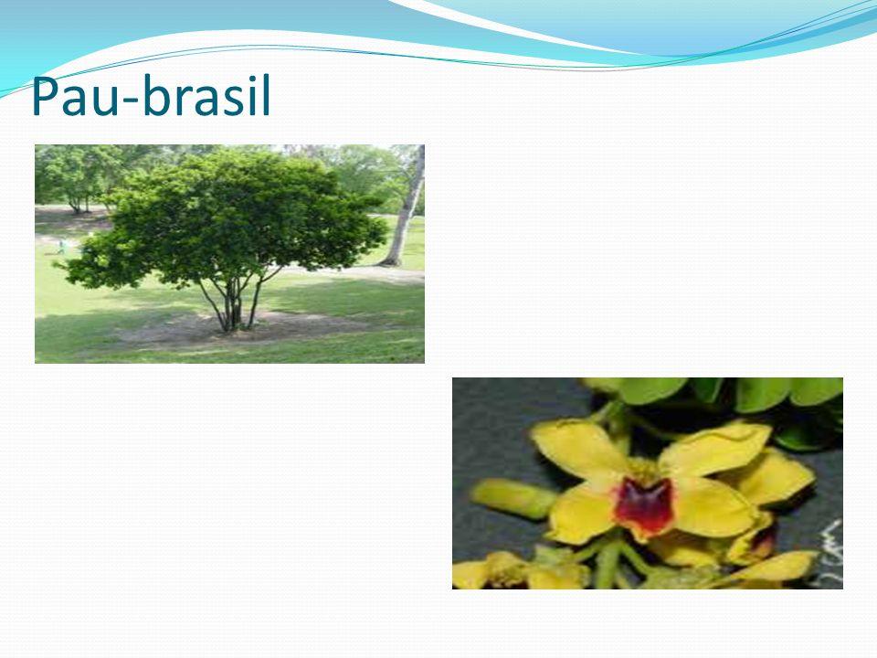 Pau-brasil