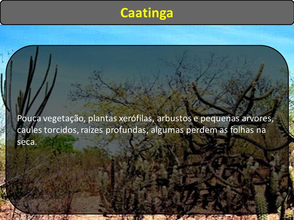 Caatinga Pouca vegetação, plantas xerófilas, arbustos e pequenas arvores, caules torcidos, raízes profundas, algumas perdem as folhas na seca.