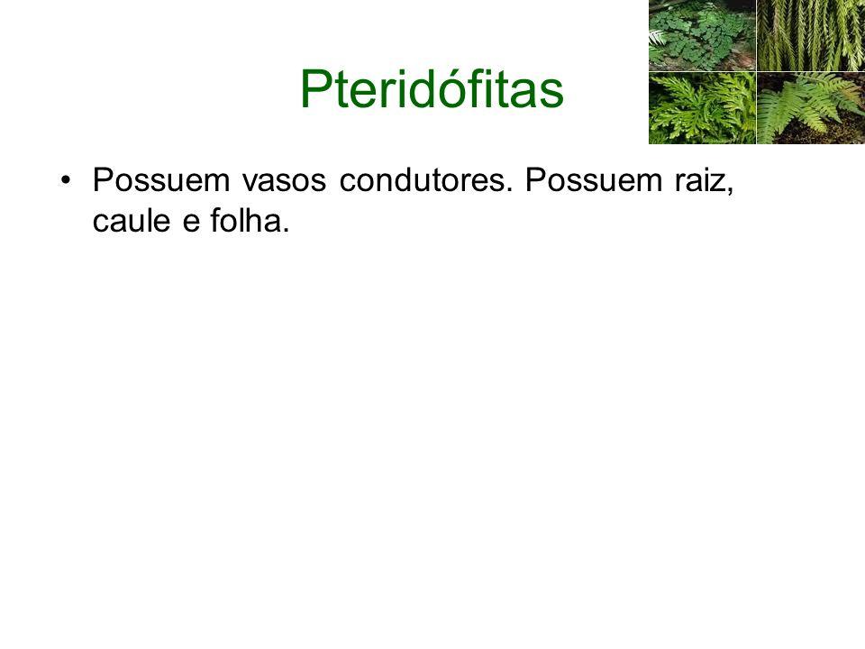 Pteridófitas Possuem vasos condutores. Possuem raiz, caule e folha.