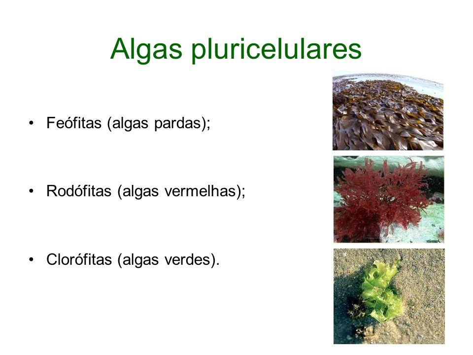 Algas pluricelulares Feófitas (algas pardas);