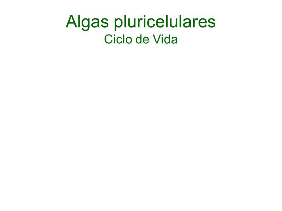 Algas pluricelulares Ciclo de Vida