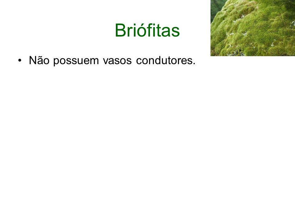 Briófitas Não possuem vasos condutores.