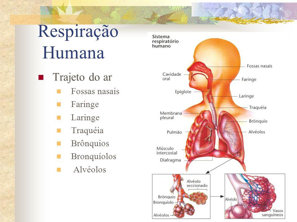 Respiração Humana Trajeto do ar Fossas nasais Faringe Laringe Traquéia