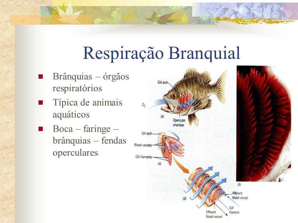 Respiração Branquial Brânquias – órgãos respiratórios