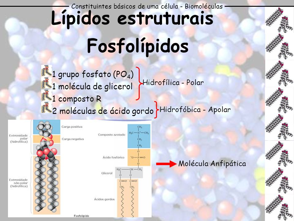 Lípidos estruturais Fosfolípidos