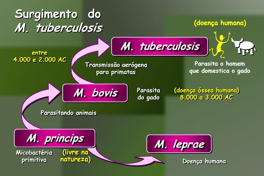 Surgimento do M. tuberculosis