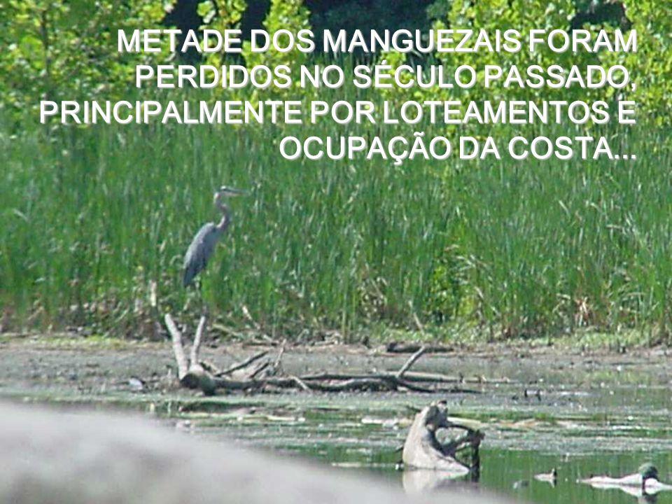 METADE DOS MANGUEZAIS FORAM PERDIDOS NO SÉCULO PASSADO, PRINCIPALMENTE POR LOTEAMENTOS E OCUPAÇÃO DA COSTA...