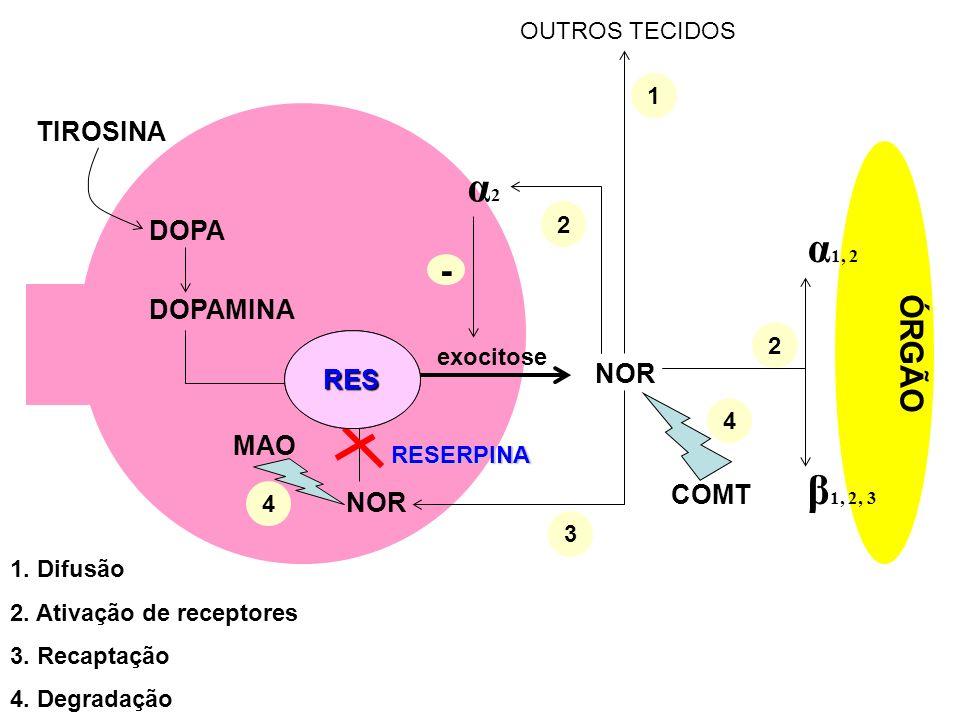 α2 α1, 2 β1, 2, 3 - ÓRGÃO TIROSINA DOPA DOPAMINA NOR RES NOR MAO COMT
