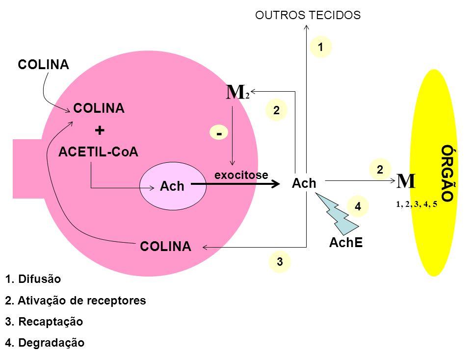 M2 M + - ÓRGÃO COLINA COLINA ACETIL-CoA Ach Ach AchE COLINA