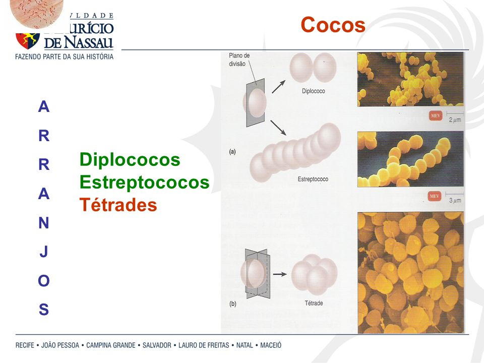 Cocos A R N J O S Diplococos Estreptococos Tétrades