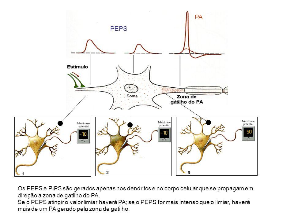 PEPS PA. Os PEPS e PIPS são gerados apenas nos dendritos e no corpo celular que se propagam em direção a zona de gatilho do PA.