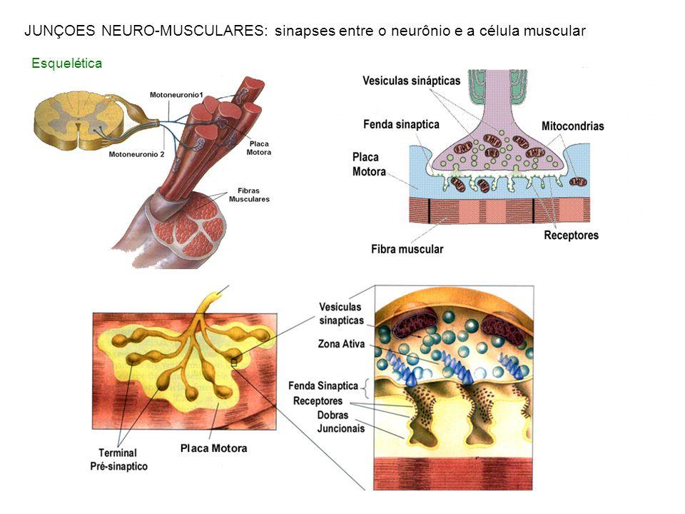 JUNÇOES NEURO-MUSCULARES: sinapses entre o neurônio e a célula muscular