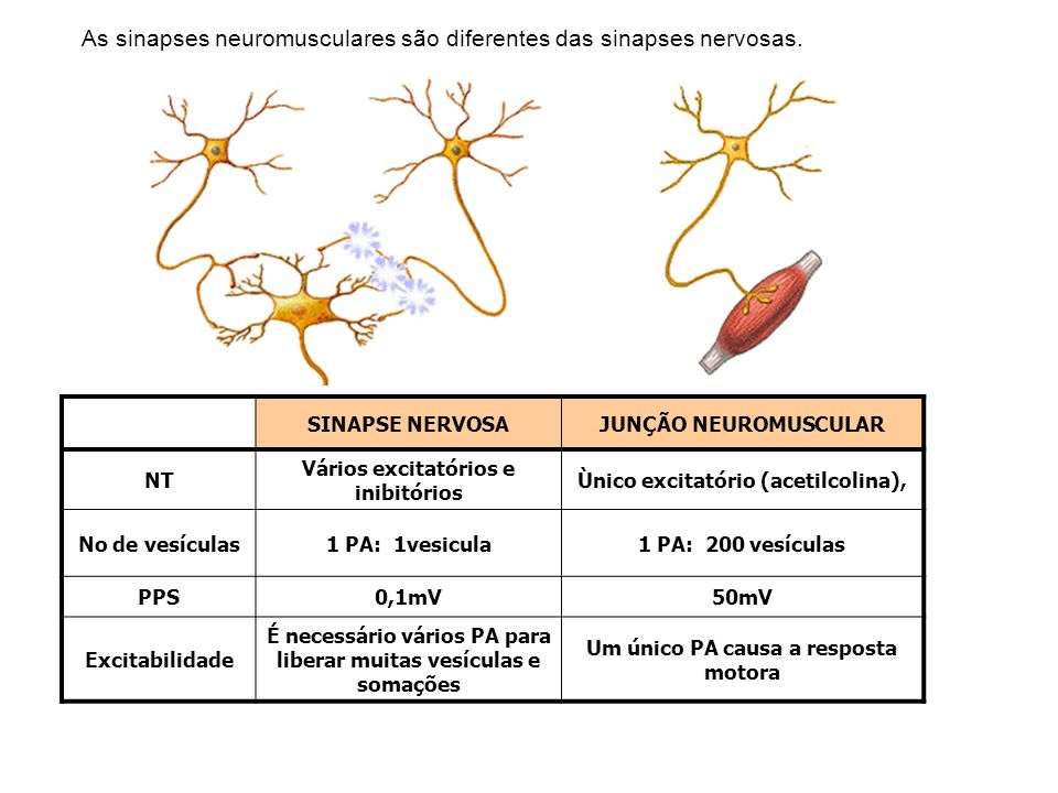 As sinapses neuromusculares são diferentes das sinapses nervosas.