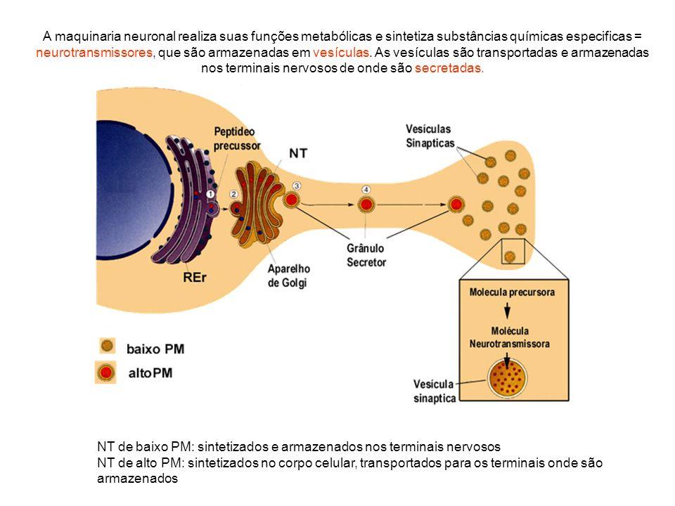A maquinaria neuronal realiza suas funções metabólicas e sintetiza substâncias químicas especificas = neurotransmissores, que são armazenadas em vesículas. As vesículas são transportadas e armazenadas nos terminais nervosos de onde são secretadas.