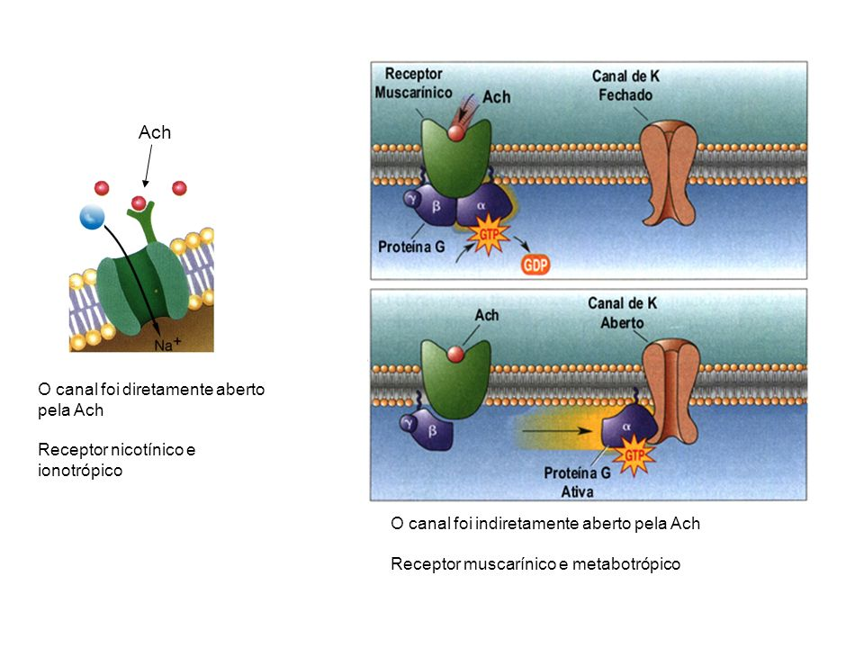 Ach O canal foi diretamente aberto pela Ach Receptor nicotínico e