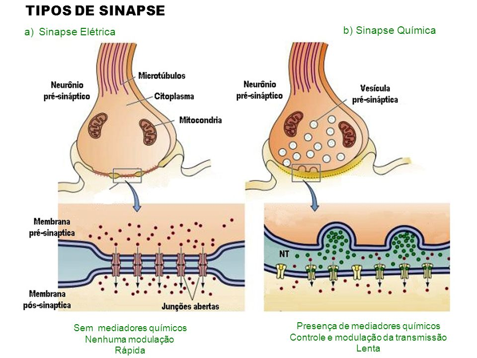 TIPOS DE SINAPSE Sinapse Elétrica b) Sinapse Química