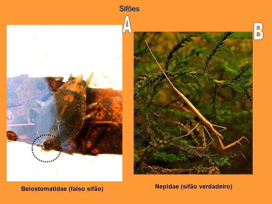 Nepidae (sifão verdadeiro) Belostomatidae (falso sifão)