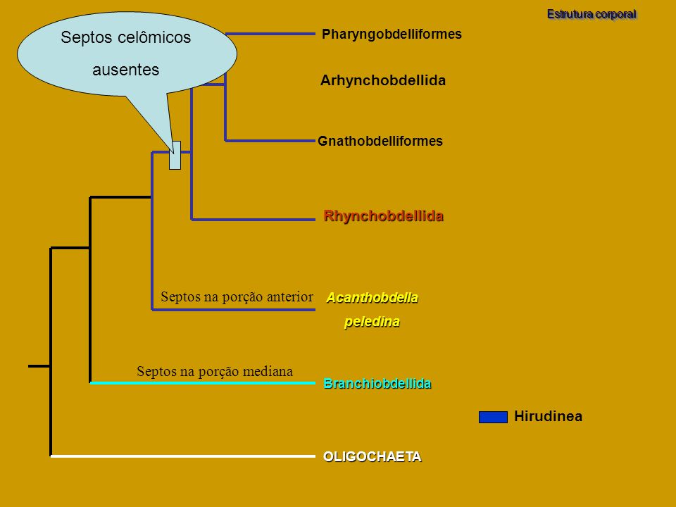 Pharyngobdelliformes
