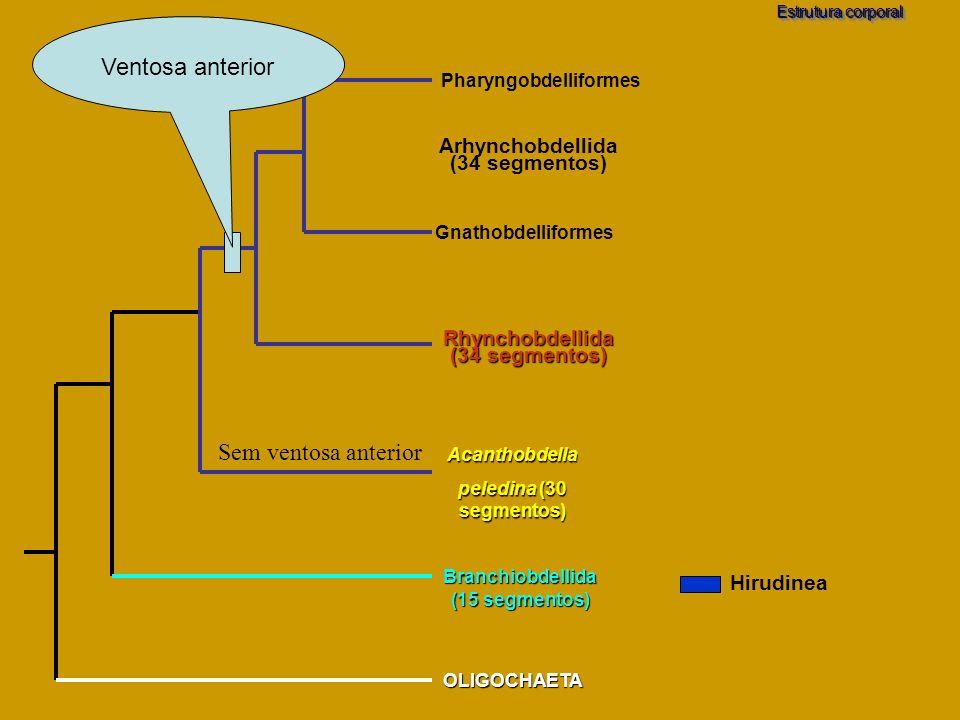 Ventosa anterior Sem ventosa anterior Arhynchobdellida (34 segmentos)