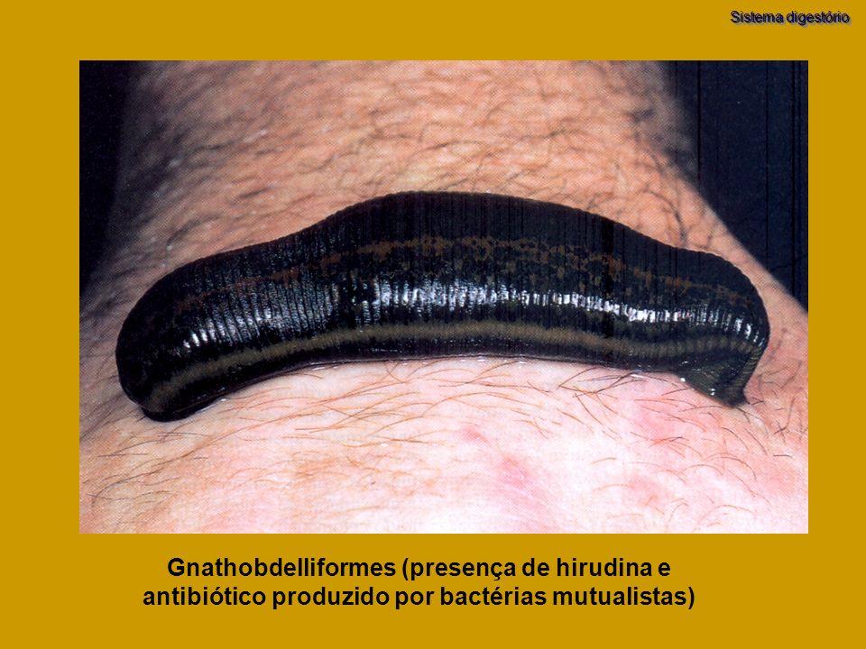 Sistema digestório Gnathobdelliformes (presença de hirudina e antibiótico produzido por bactérias mutualistas)