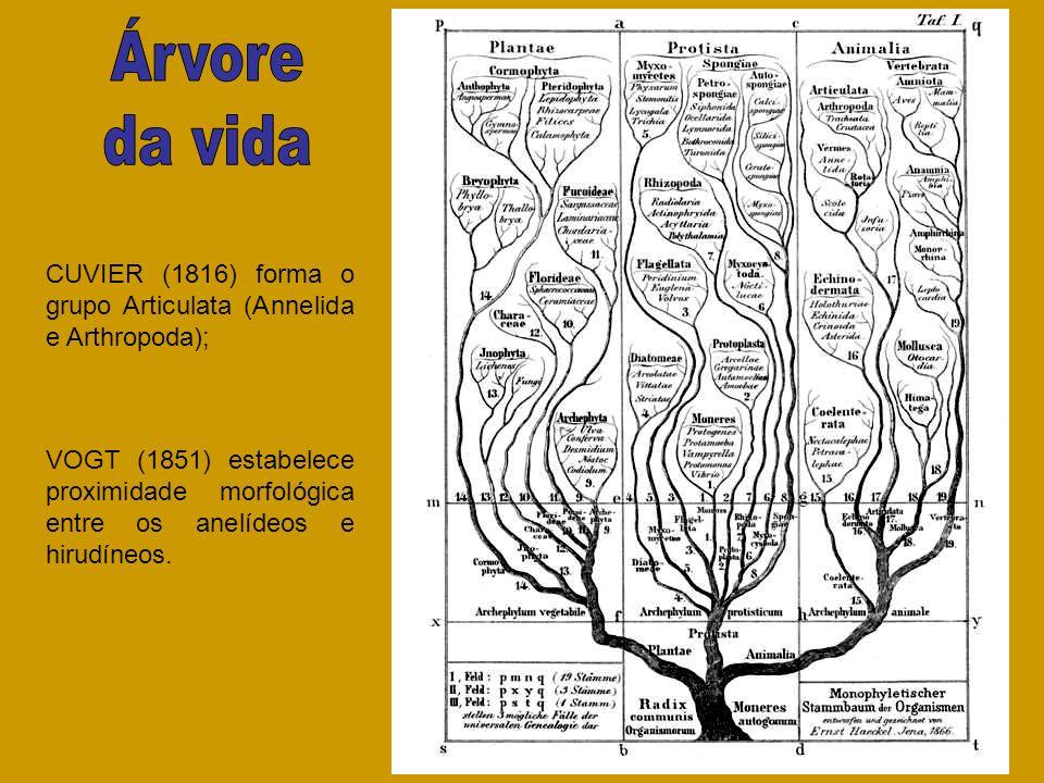 Árvore da vida. CUVIER (1816) forma o grupo Articulata (Annelida e Arthropoda);