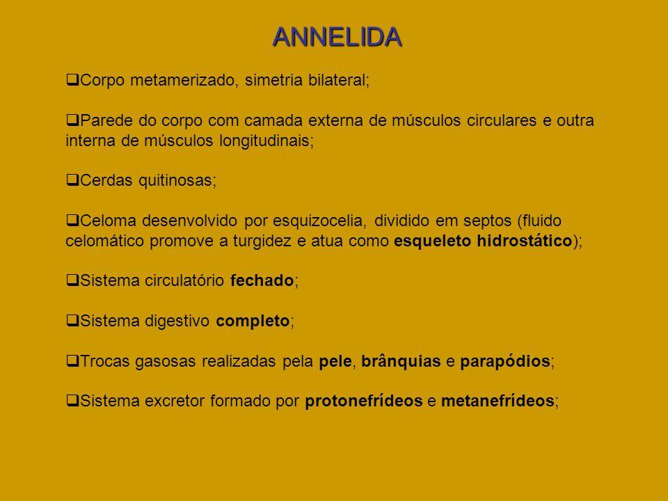 ANNELIDA Corpo metamerizado, simetria bilateral;