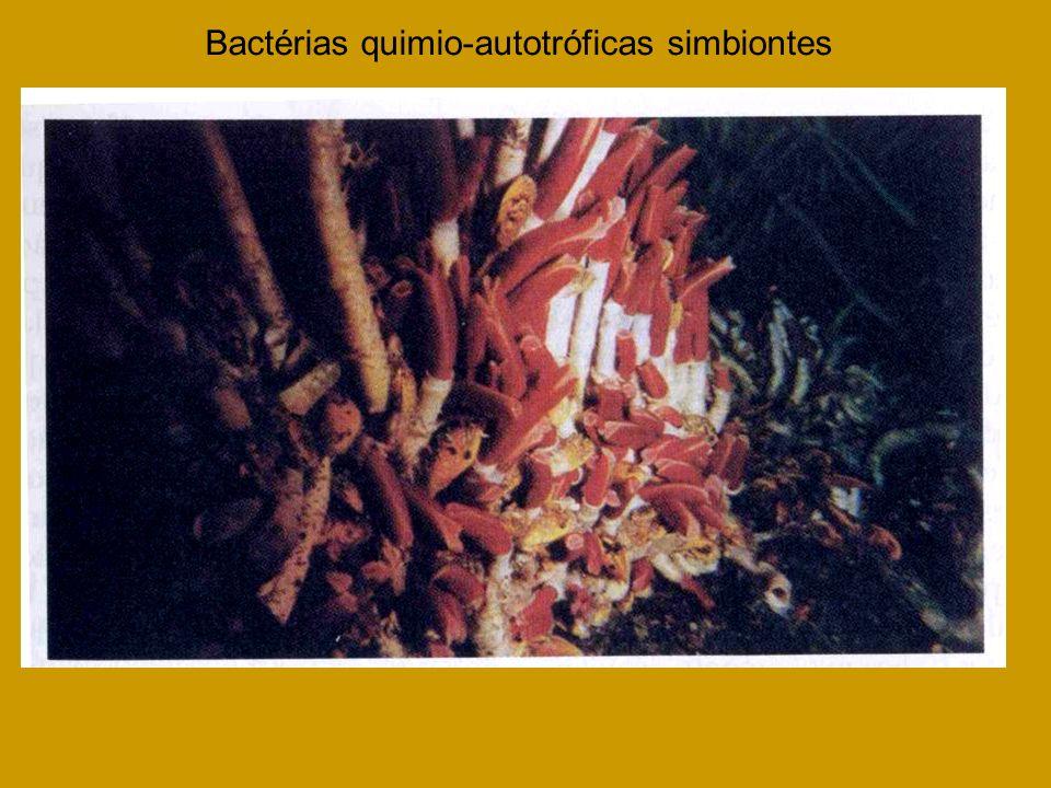 Bactérias quimio-autotróficas simbiontes