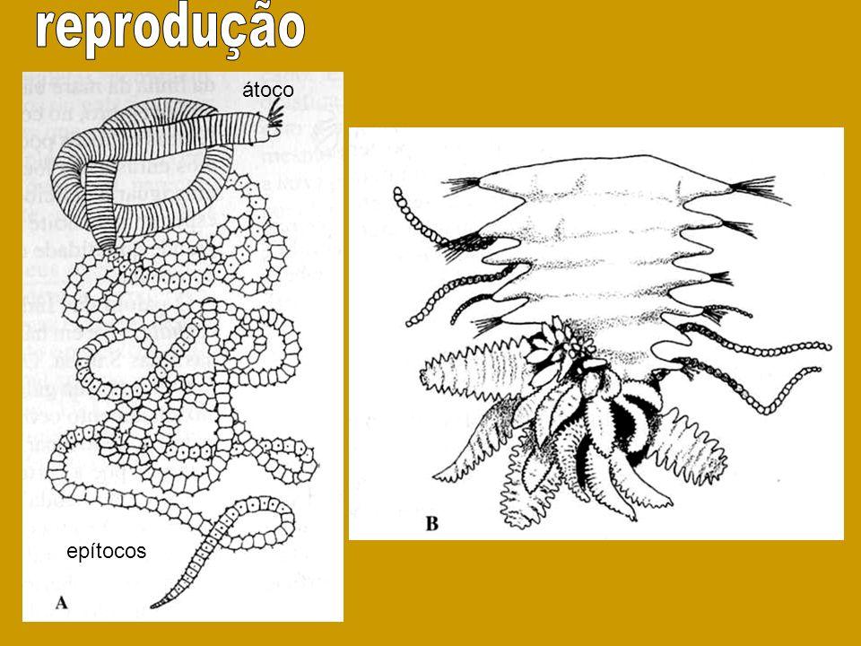 reprodução átoco epítocos