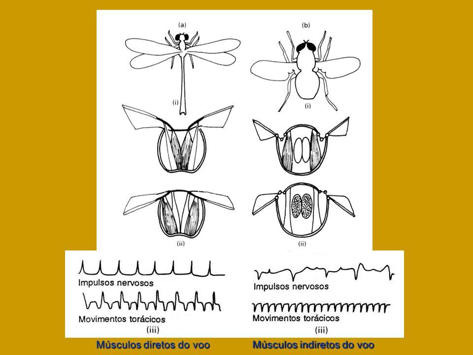 Músculos diretos do voo