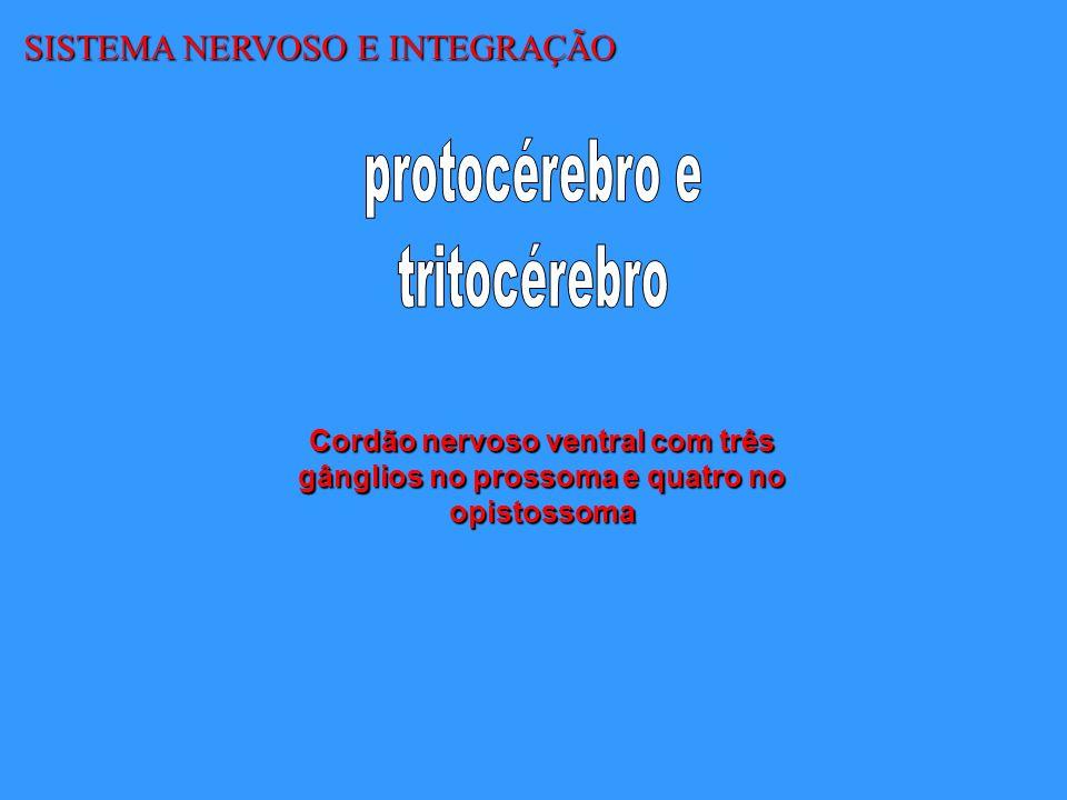 protocérebro e tritocérebro SISTEMA NERVOSO E INTEGRAÇÃO