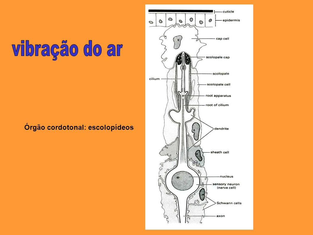 vibração do ar Órgão cordotonal: escolopídeos