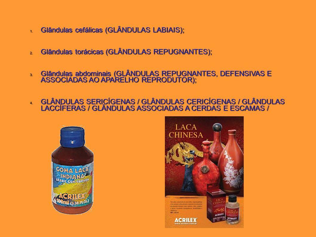 Glândulas cefálicas (GLÂNDULAS LABIAIS);