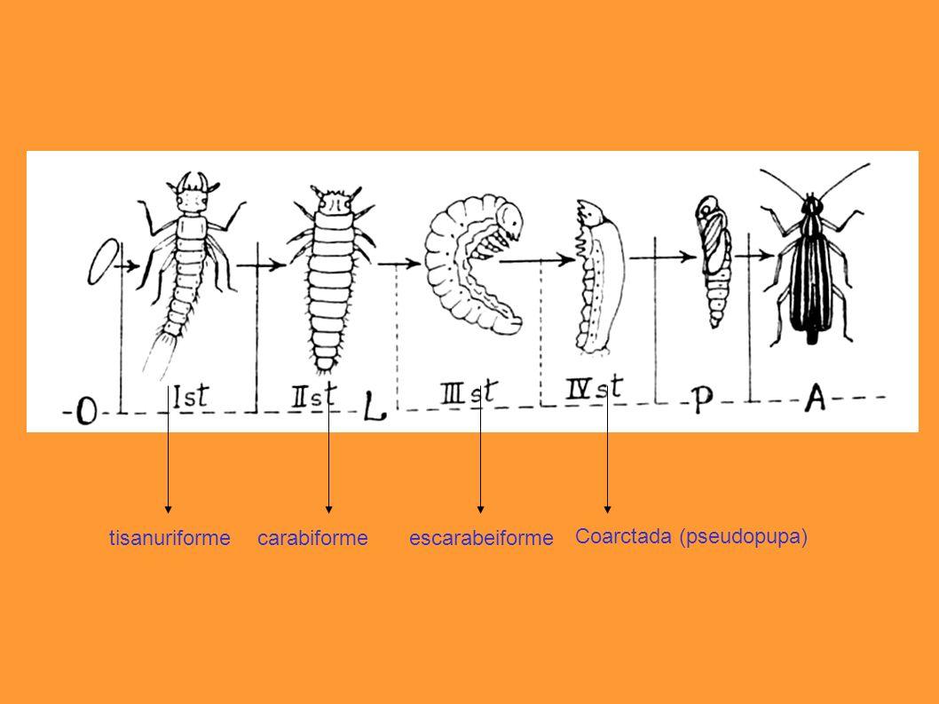tisanuriforme carabiforme escarabeiforme Coarctada (pseudopupa)