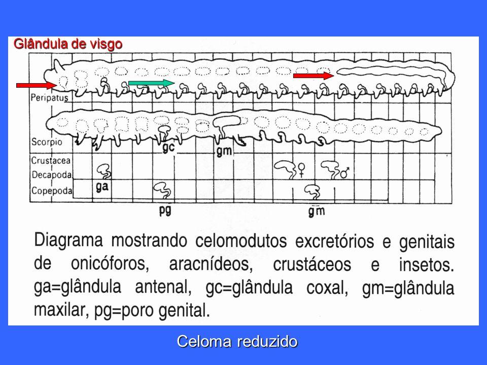Glândula de visgo Celoma reduzido