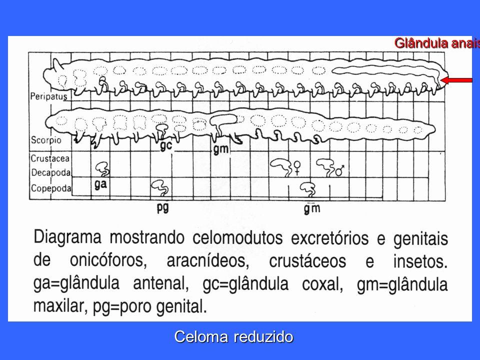 Glândula anais Celoma reduzido