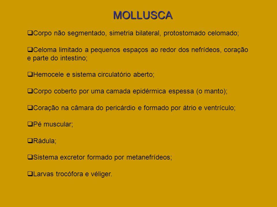 MOLLUSCACorpo não segmentado, simetria bilateral, protostomado celomado;